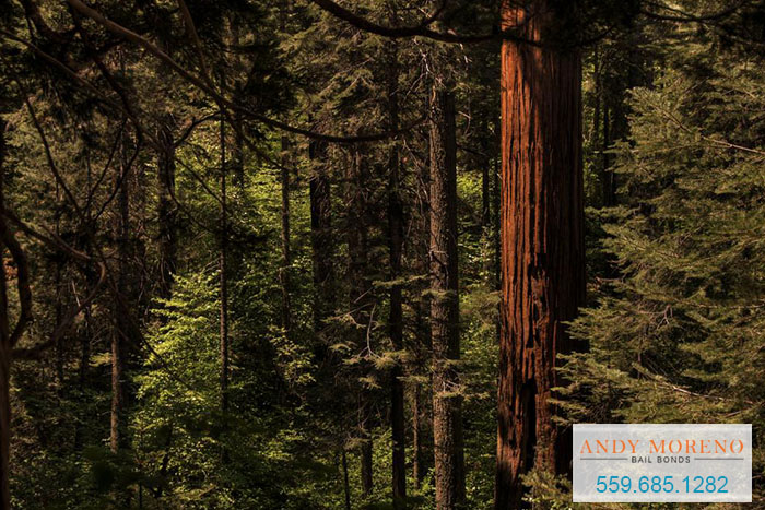 New Ancient Redwoods? How's That Possible?